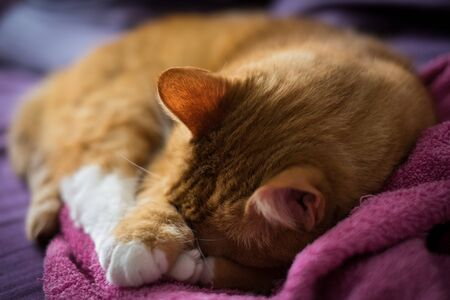 Adorable Sleeping Ginger Cat