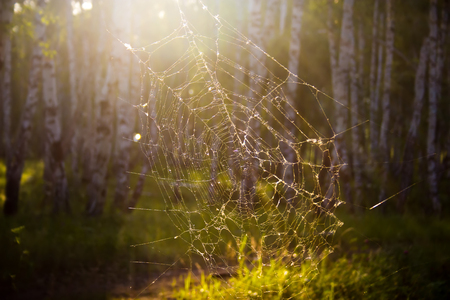 Forest spiderweb in the rays of the evening sun.