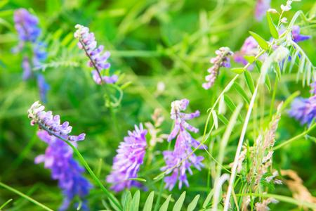 Green meadow violet Mouse peas selective focus horizontal.. Stock Photo