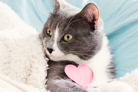 Grey cat lying in bed with cardboard heart.