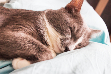 Blurred Grey cat sleeping bed cute fluffy paw. Stock Photo