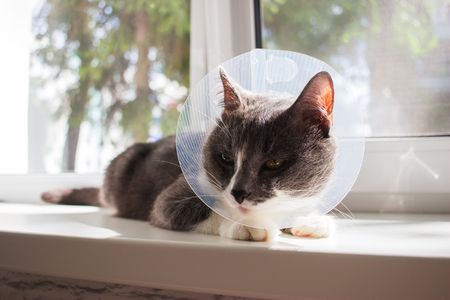 cute grey cat patient Stock Photo