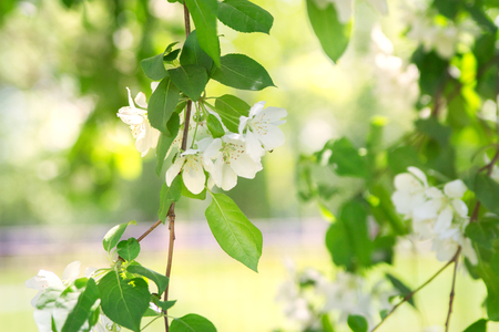 Blooming spring apple tree park outdoor rest. Stock Photo