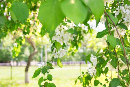 Blooming spring apple tree park. Stock Photo