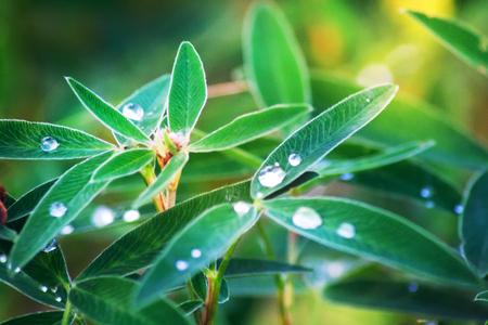 Blur Toned Nature Background Leaves Clover Bedew Drops Bokeh.