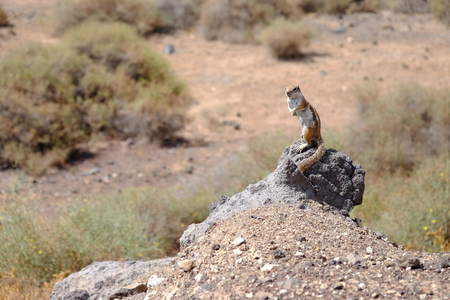 fuerteventura: Cute squirrel in Morro Jable, Fuerteventura, Spain.