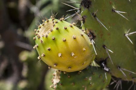 Fruit of opuntia ficus-indica.