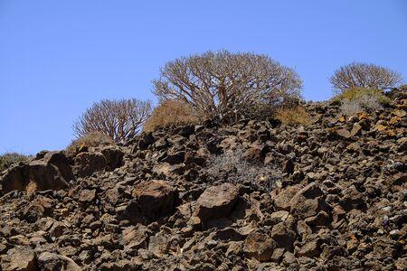 oliva: Euphórbia balsamifera on a volcanic rock on the island Lobos, Spain.