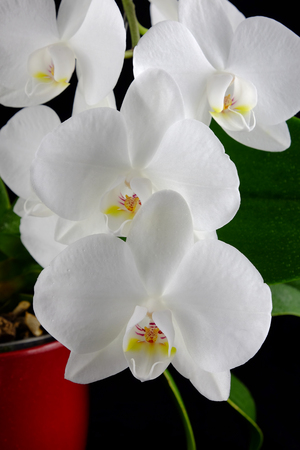 Brunch of orchid phalaenopsis with beautiful white flowers on black background.
