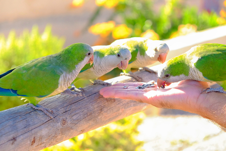Four green amazon parrots are fed from a hand on the Canary Island of Fuerteventura, Spain. Stock Photo