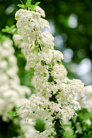 A brunch of a blooming bird-cherry-tree with white flowers. Closeup.