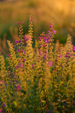 Flowers of Lupinus, commonly known as lupin. A field of lupines. Violet flowers in the contrary light of the sunset - Image. Stock fotó