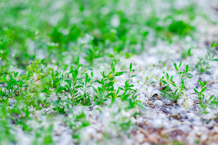 Green grass in poplar fluff. Closeup. Space for text.