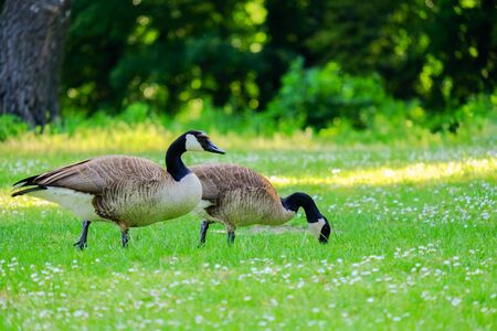 Two Canadian geese stinging grass in a green meadow with white flowers in a sunny day.