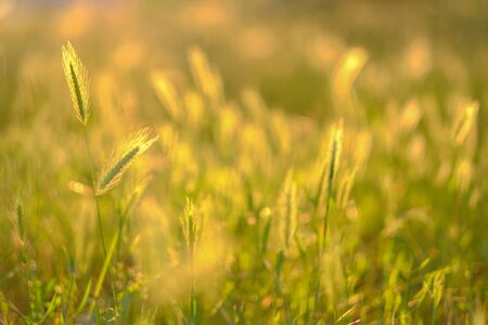 Natural blurred summer background. Field grasses and ears in the golden sunlight at sunset. The concept of environmental protection.