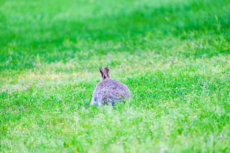 Gray hare in the grass in the forest. Stock Photo