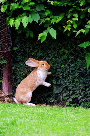Rotes Kaninchen, das auf seinen Hinterbeinen im Garten mit grünen Pflanzen und Gras steht.