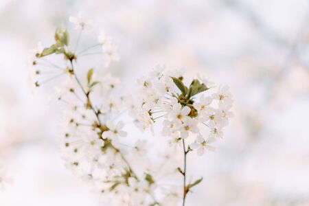 Cherry blossom closeup. Brаnch with cherry flowers in spring.