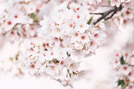 Cherry blossoms closeup, can be used as beautiful spring blurred background.