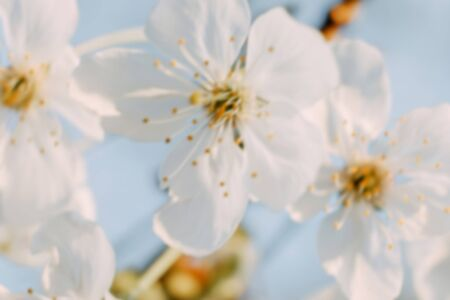 Beautiful spring blurred background wich cherry flowers closeup.
