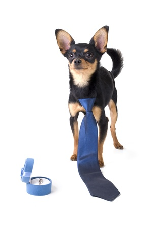 studio portrait of a dog wearing a tie and a box with a wedding ring photo