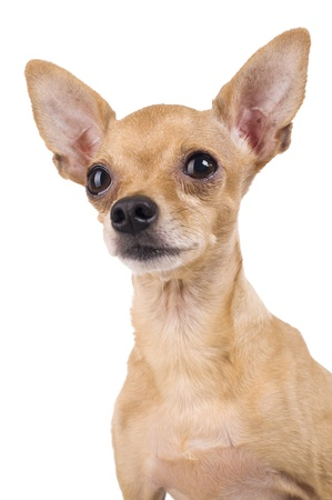 Toy Terrier on a white background photo