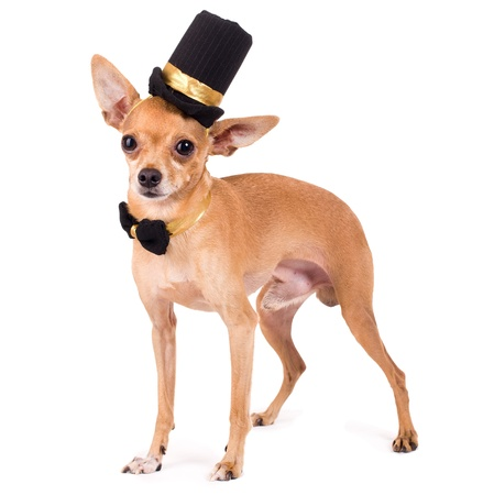 portrait of the nice terrier in a top hat photo
