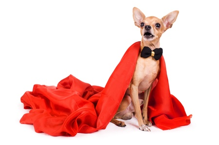 portrait of the terrier dressed as a vampire on a white background Stock Photo - 10732491