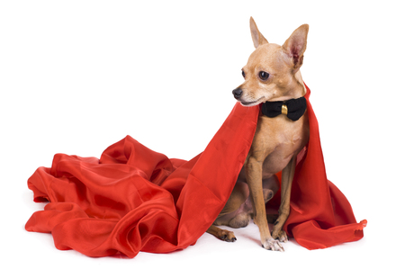 portrait of the terrier dressed as a vampire on a white background