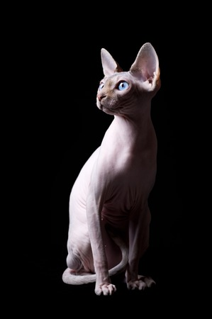 Young canadian sphinx cat on black background Stock Photo