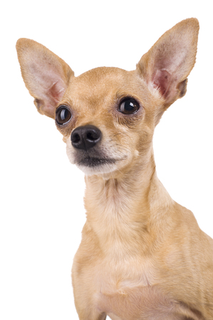 funny Toy Terrier on a white background Stock Photo