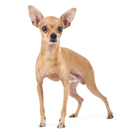 Toy Terrier sits on a white background Stock Photo