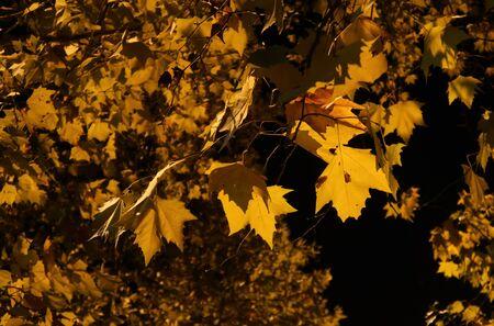 비행기 나무 잎 스톡 콘텐츠
