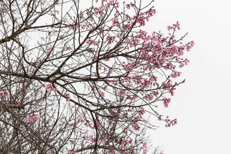 foreground: branch sakura cherry blossom tree Blur the foreground and White background