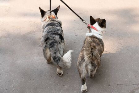 two corgi on a leash together