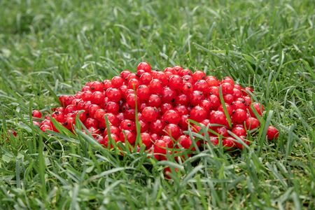 red currant in bulk lies on the green grass 免版税图像