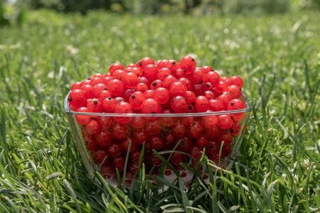 Summer harvest table with red currants in glasses on a white wooden table with grass on the background