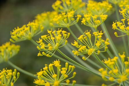 Dill flowers close up. Inflorescences of dill (Anethum graveolens). 免版税图像