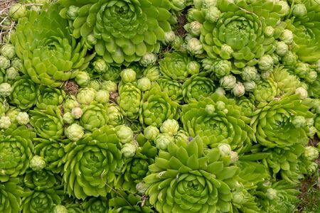 Green succulents - stone rose background 免版税图像