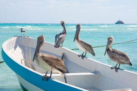 sunning: Pelicans sunning themselves in the Mexican sun near Playa Del Carmen. Stock Photo