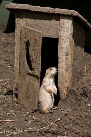 outhouse: This prairie dog is getting a little fresh air after leaving the outhouse.   Stock Photo
