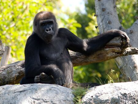 A big ape posing for the camera.  This photo was taken at the San Diego Zoo. Stock Photo - 4893947