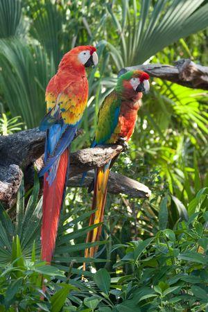 scarlet: A pair of Scarlet Macaws posing at Xel-ha Park in Mexico.