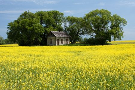 An old prairie house surrounded by a bright yellow canola field. Stock Photo - 5388766