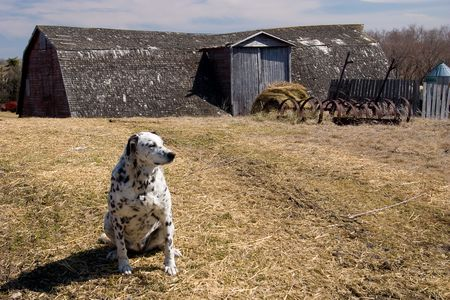 dalmation: Black and white Dalmation dog guarding the farm yard.