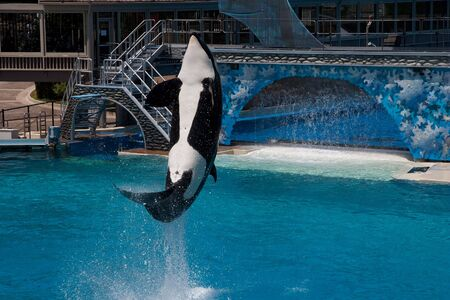 Killer Whale jumping in a pool photo