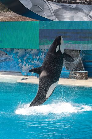 Killer Whale jumping in a pool Stock Photo - 6401281