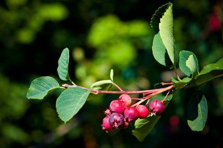 Saskatoon Berry arrive à maturité en juin et juillet et a une saveur similaire aux bleuets, est également souvent fait en plusieurs types de denrées alimentaires, y compris les tartes, confitures, vins et de bières.  Banque d'images - 6715094