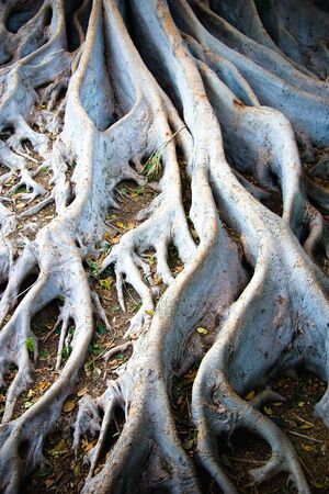 The tangled roots of a Ficus macrophylla, known as the Moreton Bay Fig, that is a large evergreen banyan tree photo