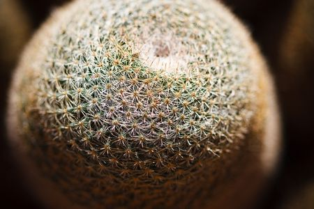 cactus species: Mammillaria plants have extremely variable spination from species to species, and attractive flowers, making them specifically attractive for cactus hobbyists.